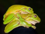 vista-laterale-di-due-verde-tree-frogs-litoria-caerulea-di-accoppiamento