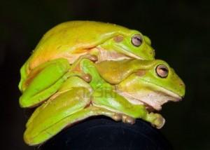 vista-laterale-di-due-verde-tree-frogs-litoria-caerulea-di-accoppiamento